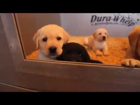 Karma X Caspar Labrador Puppies for Sale