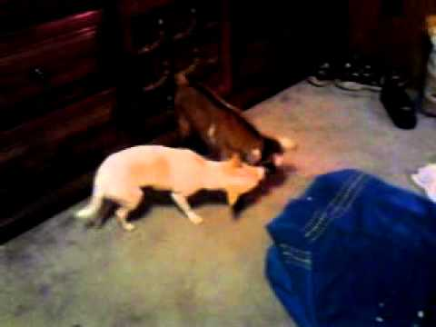 Pnut the chihuahua playing with baby goat