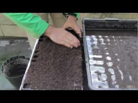 Cómo sembrar cebolla 2ºparte//Balcón comestible//LlevamealhuertoTv