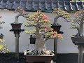 Download Lagu bonsai porcelain flowers Thailand - Hoa sứ Thái bonsai Mp3 Free
