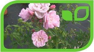 Die kleinblütige Duftrose Roseasy Pompadour