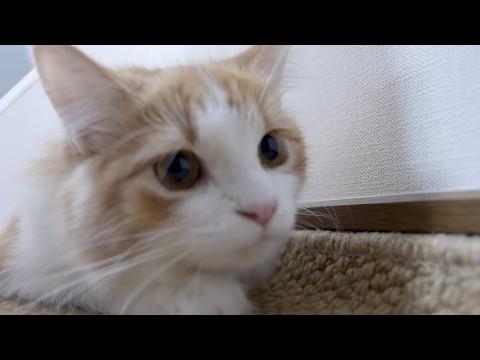 忍び寄る猫のプリン! 猫パンチ / Creeping cat PRIN!  Cat punch (видео)