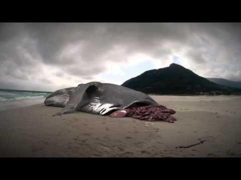 Megalodon: The Monster Shark Lives: Whale Attacked by Megalodon?
