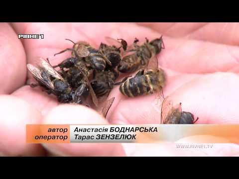 <a href='/Info/?id=92641' >На Рівненщині у пасічника загинула майже сотня бджолинних сімей [ВІДЕО]</a>