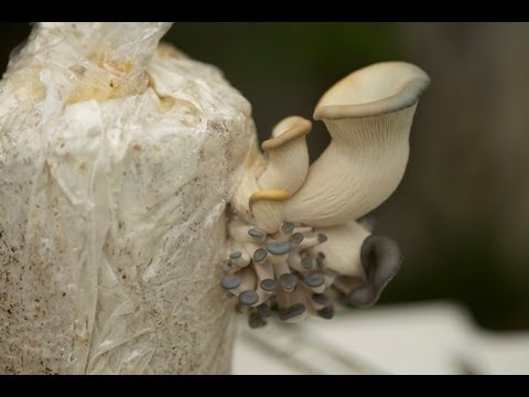 How To Grow Blue Oyster Mushrooms