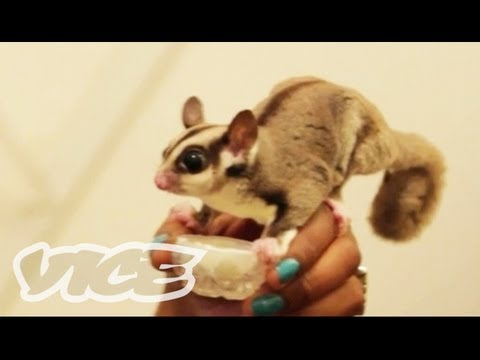 Cute Sugar Gliders!