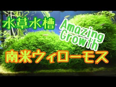 """凄まじいモスの成長 水草水槽 立ち上げ """"Amazing Growth"""" Setting & growth of Aquatic plants 水草水槽 南米ウィローモス"""