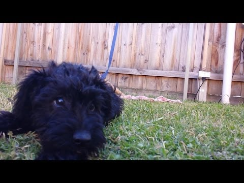 Schnoodle puppy playing