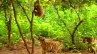 Обезьянка дразнит тигров..