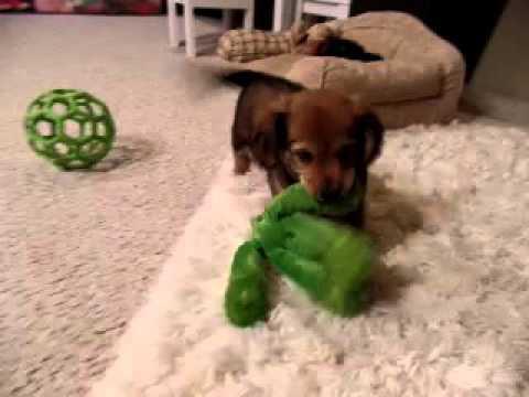 Hershey is a great boy He is so cute!!