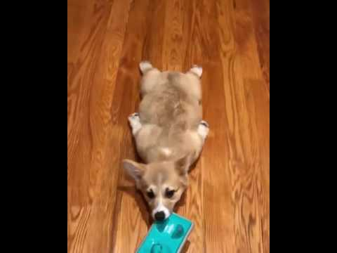 Corgi Puppy Mop Ride