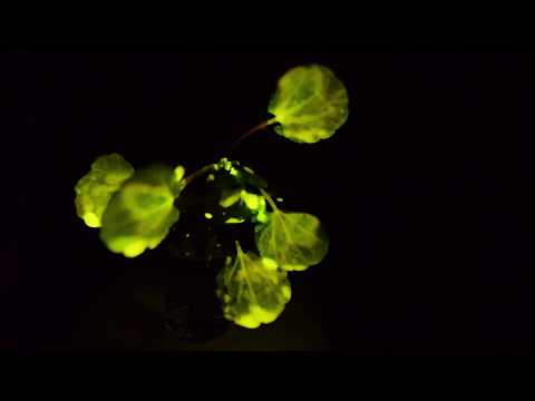 MIT Engineers create Nanobionic Light-Emitting Plants that can glow like a lamp