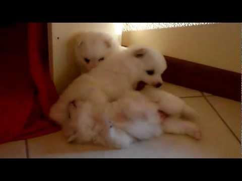 fantastici cuccioli di volpino italiano
