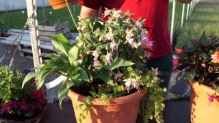 #397 Kübelbepflanzungen für schattige Standorte (Hosta, Fuchsie, Impatiens)