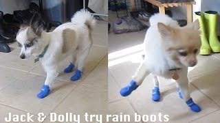 Dogs trying shoes on - puppy rain boots