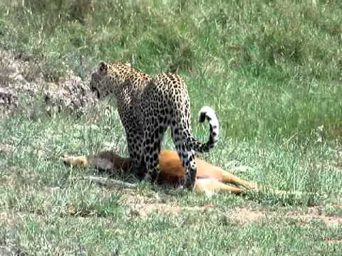 0 From the Field: Leopard with its Kill