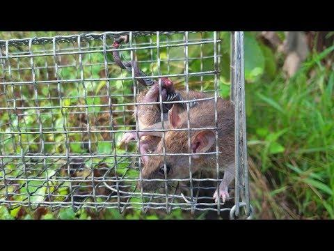 Kinh nghiệm, mẹo nhỏ bẫy chuột, tìm đường mòn. Dính Con chuột kẹt, té đái luôn | Săn bắt SÓC TRĂNG | - Thời lượng: 21 phút.