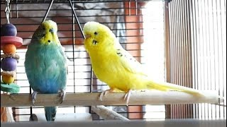 Video 1 Hour of Budgie Best Friends Talking, Playing and Singing - Mango and Chutney MP3, 3GP, MP4, WEBM, AVI, FLV Juli 2019