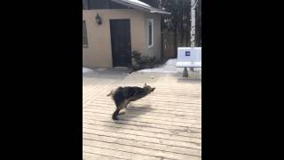 Funny German Shepherd Falling In Slow Motion