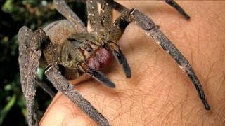 Absolute Deadliest Spider Bites on Earth!