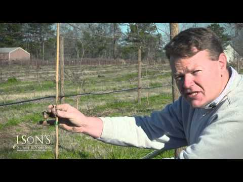 how to fertilize muscadines