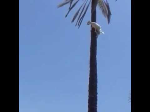 Crazy Goat Climbs a Palm Tree
