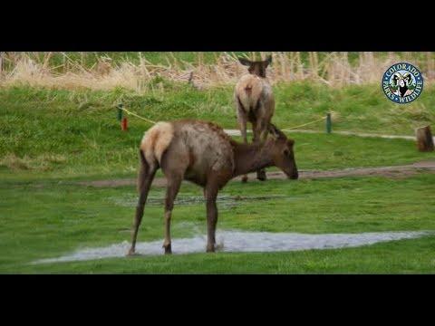 Euphoric Elk Loves Splashing in Puddles