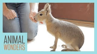 Baby Cavy's 1st Training Session! by Animal Wonders