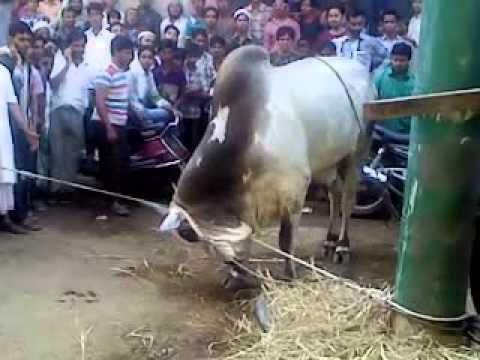 angry bull qurbani (1)