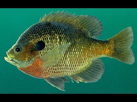 Bream and Crappie Fishing Lures and Techniques