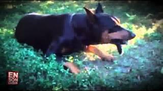 Tavşan yiyen doberman Diğer en popüler videolarımız için http://www.enpopulervideo.besaba.com dan takip edebilirsiniz.