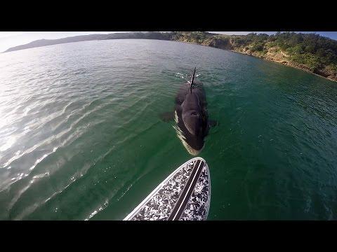 Miekkavalas seuraa miestä merellä – Kuumottava tilanne