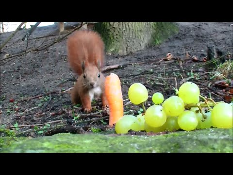 Eichhörnchen - was sie essen und wo sie Möhren verstecken
