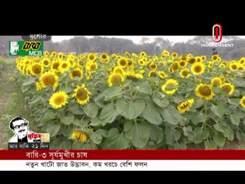 BARI Sunflower-2 to profit farmers (24-02-2020) Courtesy: Independent TV