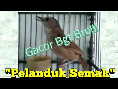"""Pelanduk Semak"" Gacor Full Isian Istimewa, Mr.Hilmi Rofiqi Collections Mp3"