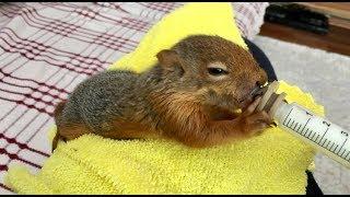 Minik Sincap Bonibon büyüdü artık biberonu kendisi tutuyor