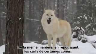 Comment les loups changent les rivières...