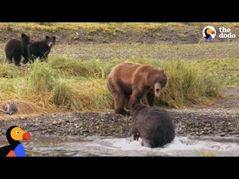 Bear Mom Fights Off Male To Protect Her Babies The Dodo