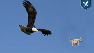 Birds of a Feather Fight Drones Together: Are Canadian Skies Ready for the 'Flying Squad'?