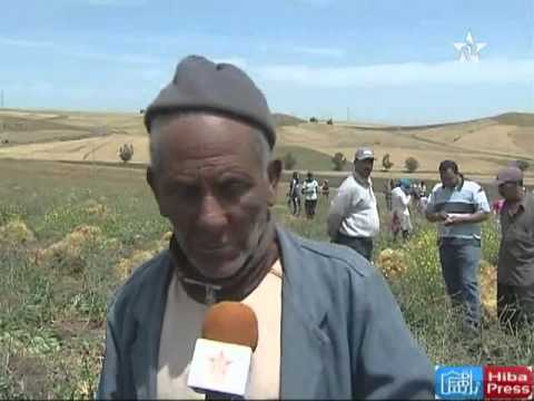 محاصيل العدس بالرماني إقليم الخميسات