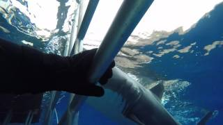 <h5>Juvenile white shark rams our cage to investigate</h5>