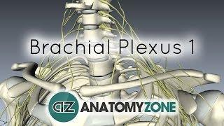 Brachial Plexus - Branches - 3D Anatomy Tutorial
