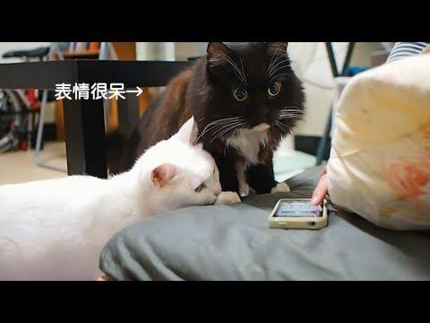 貓咪聽到陌生貓叫聲的反應是?