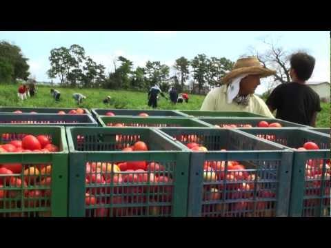マイファーム農事組合の加工用トマト