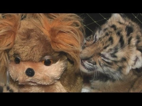 Watch: Siberian Tiger Cubs Drink Tea to Stay Active