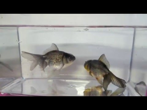青文魚 金魚 goldfish