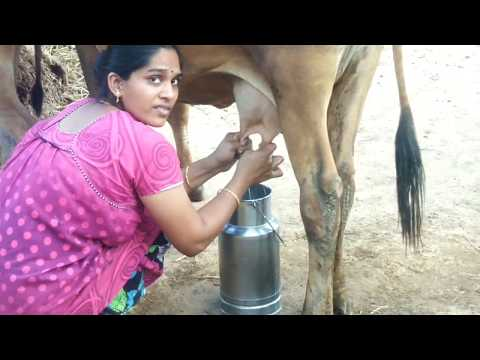 Cow milking | cow milking by hand | how to milk a cow | how to milk a cow by hand | cow milk | cow