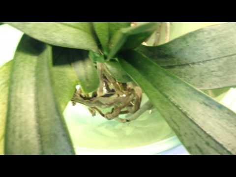 Phalaenopsis Orchideen im Wasser: Bald gibt es Blüt ...