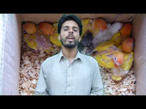 Lovebirds Ki Basic Information | Lovebirds Cage, Box And Breeding Life