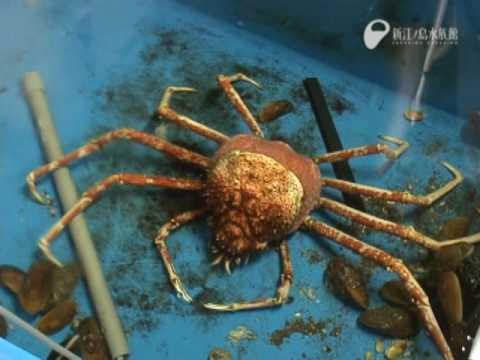 蜘蛛蟹脫殼全記錄!